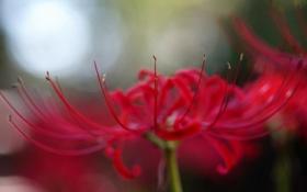 Картинка цветок, макро, красный, лепестки, radiata, Lycoris