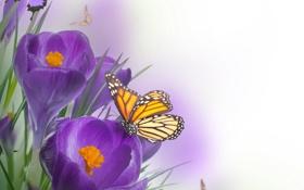 Обои бабочки, цветы, крокусы, flowers, crocus, butterflies