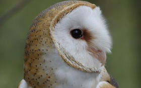 Картинка сова, птица, голова, профиль, оперение