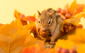 Обои орех, Chipmunk, winter has in store, twigs, бурундук, веточка, зимний припас