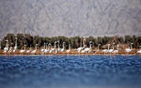 Обои море, вода, фламинго, стоят