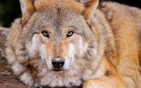 Обои взгляд, волк, хищник