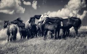 Обои поле, небо, облака, ветер, лошади, холм, вершина
