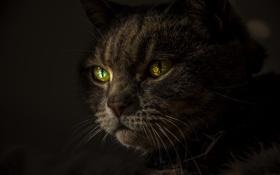 Картинка усы, взгляд, зеленые глаза, кот. животное