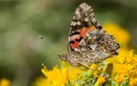 Обои макро, цветы, бабочка, крылья, желтые, усики