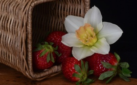 Картинка цветок, ягоды, корзина, клубника, нарцисс