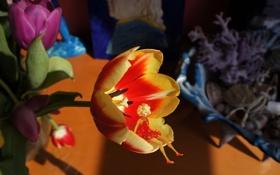 Обои фея, тюльпан, цветы