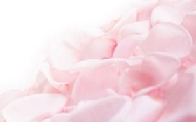 Обои розовый цвет, красота, нежность