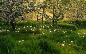 Картинка трава, деревья, весна, одуванчики, цветение
