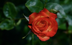 Картинка роза, оранжевая, лепестки, бутон, цветение
