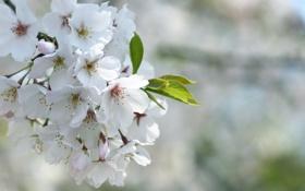 Обои цветение, лепестки, листок, размытость, белые, сакура, природа