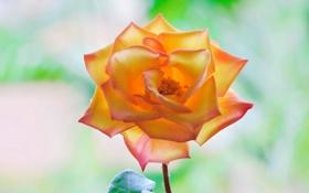 Обои роза, фон, лепестки, красота