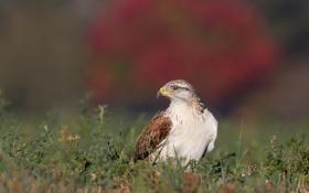 Обои трава, фон, птица, сокол