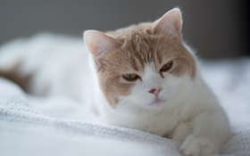 Обои кошка, лежа, Ben Torode, Hannah, Benjamin Torode