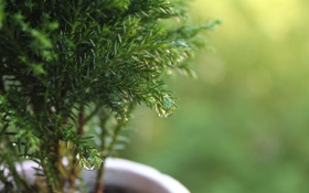 Картинка капли, макро, роса, растение, горшок, деревце