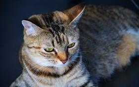 Обои кот, взгляд, полоски, Кошка, серое, гляза