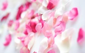 Обои белый, макро, фон, розовый, лепестки
