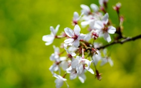 Картинка белый, ветка, Цветок, flower