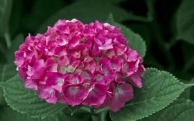Обои цветок, листья, розовая гортензия