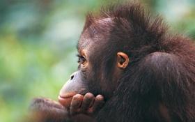Картинка глазки, шерсть, обезьяна, детеныш, орангутан