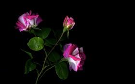 Обои куст, стебель, тень, лепестки, листья, роза, свет