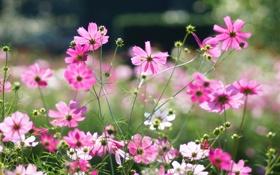 Картинка лето, цветы, розовые, солнечно, полевые, космея
