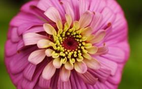 Обои природа, цветок, розовая, циния, лето