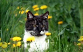 Картинка кошка, лето, одуванчики
