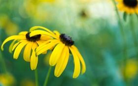 Обои желтые, фон, блики, рудбекия, цветы