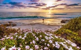 Картинка закат, цветы, побережье, Калифорния, California, Тихий океан
