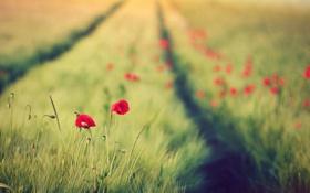 Картинка зелень, поле, цветы, красный, фон, widescreen, обои