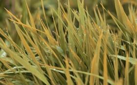Обои трава, листья, капли, роса, влага, желтые