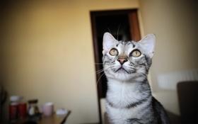 Обои кошка, кот, морда, комната, обои, wallpapers, котэ