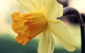 Картинка цветок, макро, желтый, лепестки, нарцисс