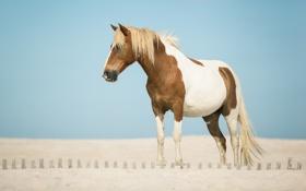 Обои песок, лошадь, конь