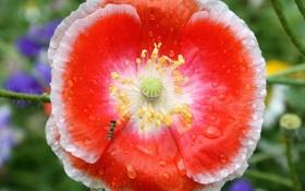 Обои цветок, вода, капли, роса, мак, лепестки, насекомое