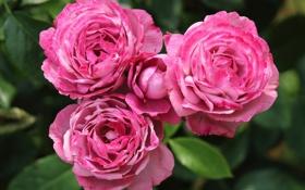 Обои макро, бутоны, розы, трио