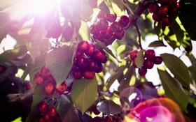 Картинка ягода, листья, веточки, вишня
