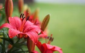 Картинка цветы, flower, красные лилии, red Lily