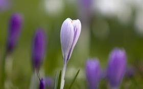Обои весна, трава, крокус, размытость, цветок, первоцвет, макро