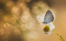 Обои макро, бабочка, ромашка, насекомое, боке