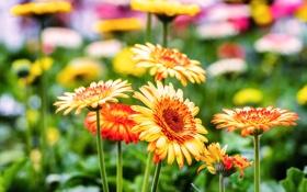 Обои цветы, яркие, оранжевые, герберы, цветение