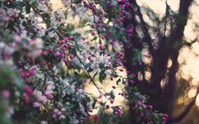 Обои природа, сад, яблоня