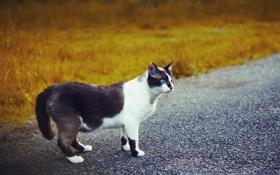 Картинка дорога, кошка, взгляд, чёрно-белая, голубоглазая