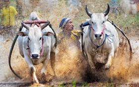 Картинка sport, Indonesia, cow race