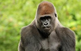 Обои обезьяна, горилла, Animal
