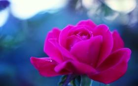 Обои цветок, обои, роза, синий фон
