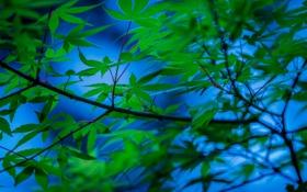 Обои листья, ветки, дерево, японский клен