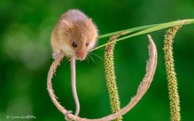 Обои мышка, хвост, грызун, стебелек, мышь-малютка
