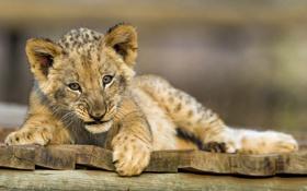 Картинка кошка, лев, детёныш, львёнок, ©Tambako The Jaguar